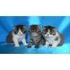 Экзотические котята разного окраса