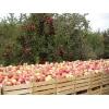 Яблоки летних сортов на экспорт