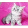 Котята экзотические разных окрасов