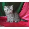 Котятки экзотические серебристого окраса