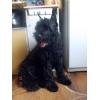 Подрощенный щенок ризеншнауцера с родословной в Омске