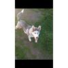 Продам щенка Хаски 6 месяцев