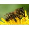 Продажа пчел.